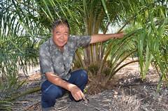 การปลูกมันสําปะหลัง แซมร่อง ปาล์มน้ำมัน สร้างรายได้ตลอดปี