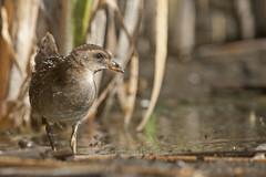 Sora (Porzana carolina) (T-Gauthier) Tags: bird birding sora porzanacarolina marshbird sorarail canonefs55250mmf456isstm