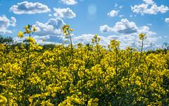 Good Morning Sunshine (EXPLORED) (Katrina Wright) Tags: rapeseed canola sunshine yellow yellowflowers field dsc7428