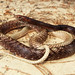 Eastern Coachwhip