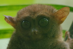 Tarsier, Chocolate Hills Excursion, Tagbilaran, Bohol, Philippines (ARNAUD_Z_VOYAGE) Tags: islands island philippines landscape boat sea southeast asia city people volcano amazing asian moutains sunset street action cars jeepney tricycle architecture river tourist capital town municipality filipino filipina colors building house provincial province village altitude mountain mountains flight manila to tagbilaran bohol philippine rainbow chocolate hill hills clouds