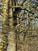 Eichen-Zeile in Dannewerk (2) (Chironius) Tags: schleswigholstein deutschland germany allemagne alemania germania германия szlezwigholsztyn niemcy schleswig eiche baum bäume tree trees arbre дерево árbol arbres деревья árboles albero quercus oak chêne дуб roble quercia rovere ek carvalho meşe eik árvore ağaç boom träd winter deutscheeiche quercusrobur stieleiche rosids fabids buchenartige fagales buchengewächse fagaceae grün landschaft borke rinde ladrido écorce corteccia schors кора hout bois holz wood legno madera