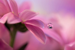 Doucement (Marilena Fattore) Tags: macro artistic canon 650d tamron 90mm colors water drops droplet nature closeup focus petals floralart reflection bokeh pastel pink delicate softness daisy flower garden beauty