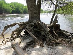Tenacious Tree (vapspwi) Tags: minneapolis minnesota minnehaha park tree root mississippi river