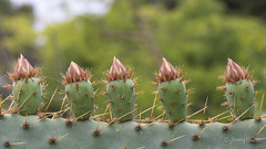 Cactus Cones (JKmedia) Tags: cactus flowers spain spanish garden boultonphotography canoneos7dmarkii spiky spikes thorns prickly prickles flora natural