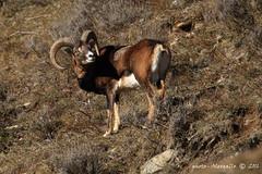 Muflone Maschio (Alessandro.Gallo) Tags: mammiferi mufloni corna ungulati fenestrelle photoalexgallo ngc fotografianaturalistica allnaturesparadise