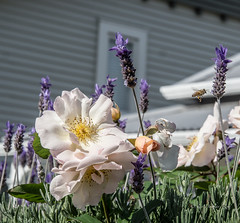 A sparkling Summer morning (idunbarreid) Tags: devonport roses lavender bee summerdelights