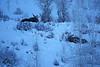 Hunkered Down Moose (DigitalSmith) Tags: tetons grandtetonnationalpark mountains wyoming