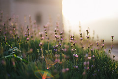 Golden hour (w a n d e r e r ▲) Tags: 50f14 d610 lavender light sun goldenhour vicari nature bokeh