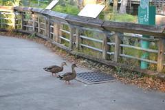 Tourist Ducks (s.kosoris) Tags: skosoris nikond3100 d3100 nikon tampazoo tampa animal bird ducks duck