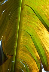 Nature's umbrella (alansurfin) Tags: sunlit leaves tropical trees florida banana backlit green brown yellow leaf