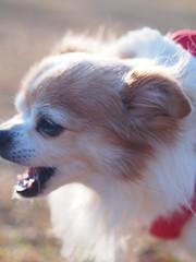 ピノ2017-01-23 15.44.20-2 (やんちゃなちわわ) Tags: ピノ pino 犬 dog チワワ chihuahua