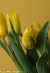 """Spring in the livingroom"" Dutch Yellow Tulips. (A.J. Boonstra) Tags: tulp tulip flower flowers indoor closeup macro canon70d canon canoneos ef100mmf28lmacroisusm falconeyesskk2150d falconeyessoftboxumbrella jinbeidiffusionjumboumbrella yellowtulips yellowbackground"
