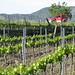 Vineyard outside Falset
