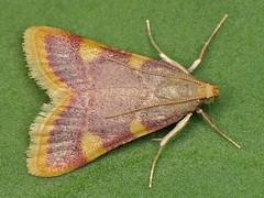 Hypsopygia costalis (Ryszard I) Tags: hypsopygiacostalis macro moth