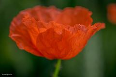 red (amateur72) Tags: fleurs champs fujifilm paysage printemps coquelicots paysdecaux fleursetplantes xt1 xf60mmmacro