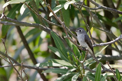Asian Brown Flycatcher / Muscicapa dauurica (peter.lindenburg) Tags: china shanghai pudong asianbrownflycatcher muscicapadauurica muscicapalatirostris