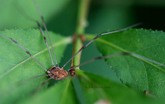 In Wait (Western Maryland Photography) Tags: maryland granddaddy longlegs lavale alleganycounty canoneos7d canonef100mmf28lisusmmacro