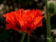 Mohnblüte und Knospe (p.schmal) Tags: hamburg wandsbek wandse botanischersondergarten olympuspenepl7