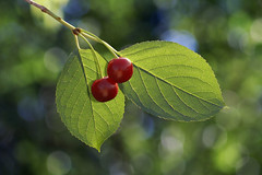 Cherry (Dragan*) Tags: light red two plant reflection tree green texture love nature fruit garden cherry outdoors leaf couple branch sweet bokeh romantic visnja