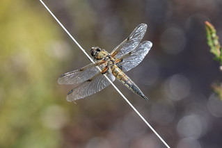 IMG_5677 Four-spotted Chaser