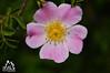 Fiore della Majella