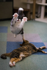 Vicke (rampx) Tags: cat jump action calico neko   norwegianforestcat miaw vicke hiyori