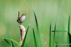 Morning Glory (craig goettsch) Tags: bird nikon ngc npc d750 avian cattail montevistanwr marshwrencistothoruspalustris
