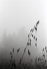 Dripping Grass (Rachael.Robinson) Tags: sf california wood city light wild blackandwhite plants white black film nature wet grass rain fog forest 35mm outside drops san francisco shadows hiking group dew dewy stalks