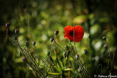 Stand Up For What You Believe In, Even If You Are Standing Alone (_Natasa_) Tags: red flower green art nature canon alone dof bokeh poppy redflower redpoppy canoneos7d canonef100mmf28lmacroisusm natasaopacic natasaopacicphotography