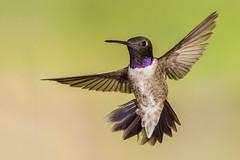 Black-chinned Hummingbird (Eric Gofreed) Tags: arizona hummingbird ngc sedona npc mybackyard villageofoakcreek blackchinnedhummingbird