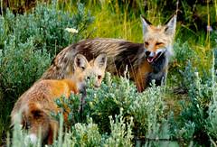 JUST THE TWO OF US (Aspenbreeze) Tags: nature animal rural outdoors wildlife fox wildanimal kit sagebrush foxkit wyomingwildlife aspenbreeze moonandbackphotography bevzuerlein