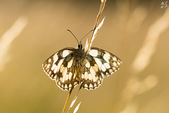 Marbled White (Max Thompson Photography) Tags: uk blue light wild england sun white black west detail macro eye nature bug insect fly chalk back natural bokeh wildlife south hill smooth sigma somerset clean clear ridge butter 5d lit sat marbled rim chalkhill depth buttefly mkiii 150mm polden