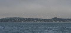 BOGUs and fog 8-3-15 (Chris Bartlett with Maine Sea Grant) Tags: gulls bonapartesgull headharborpassage photochrisbartlett