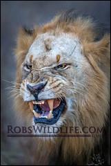 The Lion 050715-7663-2-W.jpg (RobsWildlife.com  TheVestGuy.com) Tags: africa wild nature canon outdoors photography nationalpark african fineart lion professional krugernationalpark kruger wildlifephotographer animalart wildanimals animalprints southernafrica africanlion malelion 2015 wildlifeart 050715 wildlifeprints robdaugherty thevestguycom robswildlifecom robswildlife 8016989080 epicwildlifeadventures robswildlifecom