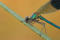Banded Demoiselle (Calopteryx splendens) (Wildlife Photography by Matt Latham) Tags: macro nature canon insect dawn dragonfly dew demoiselle damselfly odonata bandeddemoiselle calopteryxsplendens mattlatham