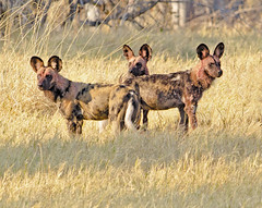 Wild Dog (rogerfscott) Tags: african wild dog hunting painted lycaon pictus canid subsaharan africa pinted cape botswana khwai moremi okavango