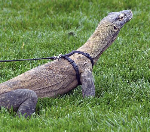 Indianapolis Zoo 08-08--2013 - Komodo Dragon 6