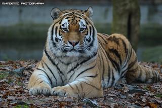 Siberian tiger - Ouwehands Dierenpark