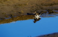 Turnstone 2 (aliboo2011) Tags: donnanook