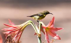 IMG_4881  Olive-backed Sunbird-female (ashahmtl) Tags: olivebackedsunbird bird sunbird songbird nectariniajugularis kohphrathong natureresort phangngaprovince thailand