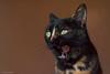 Niza (leporcia) Tags: animales animals animalplanet cat cats chat chatterie gatos gato gatto katze katzen kitty felino feline carey niza