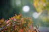 290/366 - Rain and sun (Spannarama) Tags: 366 october rain leaves wet falling bokeh tree autumn japanesemaple sunshine twigs outofmywindow autumnleaves
