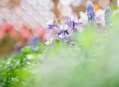 Awaiting warm spring (Saori_) Tags: mamiya mamiya645 film flower spring マミヤ フィルム 花 春 マミヤ645
