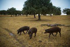 Jamon Iberico (SMEETS Marc) Tags: spain castilla deshesa pigs iberico jamon