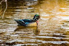 Male Wood Duck (James P. Mann) Tags: wood duck male ducks moncton winter brook river park colourful colorful mapleton