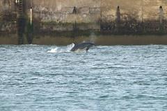 IMG_5741 (monika.carrie) Tags: monikacarrie wildlife scotland aberdeen dolphins dolphin cetacean mammal