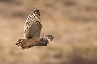 Short-eared Owl Asio flammeus