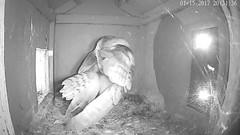 1.15.2017_2031_Jasper Preens (Birder23) Tags: 1152016 jasper didi barn owls call femalebarn owl nest cam