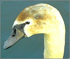 Cygnet Close Up .. (** Janets Photos **) Tags: uk hull eastparkhull lakes cygnets waterbirds
